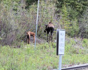 6 - Moose Twins